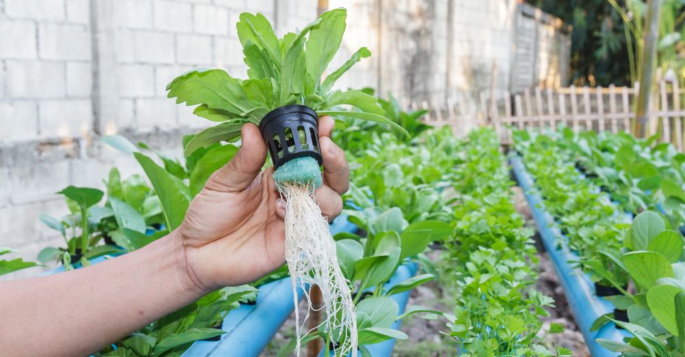 Vegetable planting water hydroponics